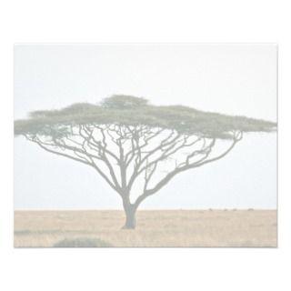 Umbrella Thorn Acacia Tree Announcements