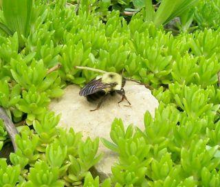 Live Plant Yellow Carpet Sedum Creeping Bright Beauty Buy More to Save