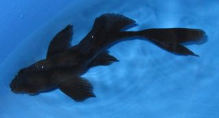 Live Koi Fish Black Karasu 4 Butterfly Fin Pond Garden Aquarium