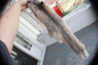 Lynx Pelt Garment Quality Tanned Leather Wild Canadian Fur Trapper
