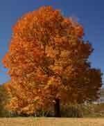 Sugar Maple Trees  Fall Color
