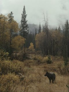 Lone Gray Wolf, Canis Lupus, Pauses in a Small Forest Clearing Photographic Print by Jim And Jamie Dutcher