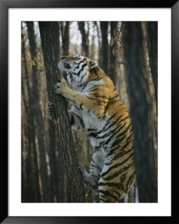 A Male Siberian Tiger Scales a Tree to Reach the Skin of a Wild Boar Pre made Frame