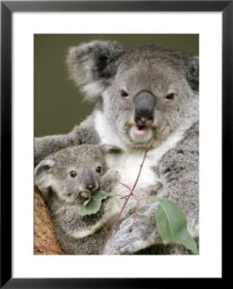 An 8 Month Old Koala Joey Pre made Frame