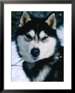 Portrait of Husky Dog, Wyoming, USA Pre made Frame