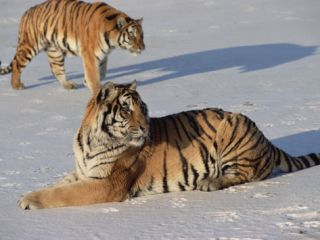 Siberian Tiger (Panthera Tigris Altaica) Pair Resting on Snow, Russia Photographic Print by Konrad Wothe