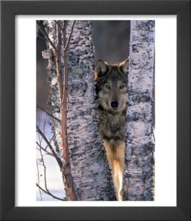 Gray Wolf Near Birch Tree Trunks, Canis Lupus, MN Pre made Frame by William Ervin