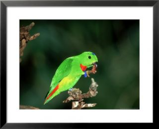 Blue Crowned Hanging Parrot, Male Eating, Zoo Animal Pre made Frame