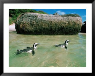 Penguins, South Africa Pre made Frame