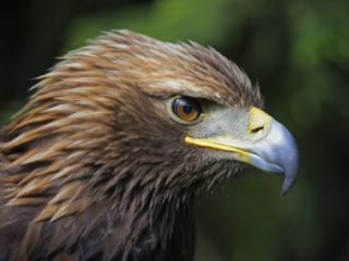 Head Portrait of Golden Eagle, France Premium Poster by Eric Baccega