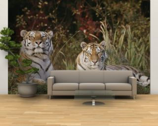 A Portrait of Two Captive Siberian Tigers Wall Mural – Large by Dr. Maurice G. Hornocker