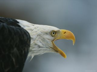 A Close View of the Head of an American Bald Eagle Photographic Print by Klaus Nigge