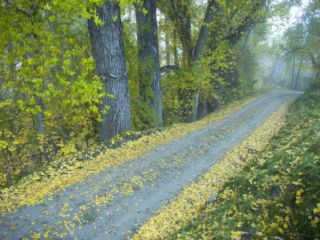 Fall Colors, Morning Fog and Cottonwood Trees Along a Road Photographic Print by Bill Hatcher