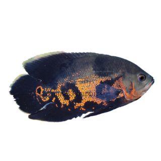 Tiger Oscar Cichlid   Fish   Live Pet