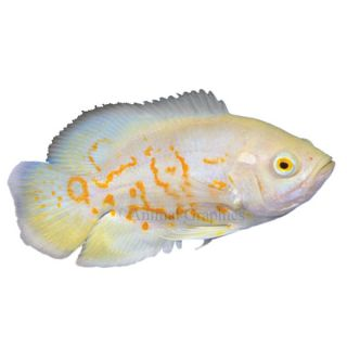 South american cichlids for sale live exotic pet fish for Live discus fish for sale