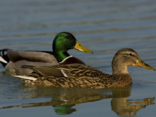 Male and Female Mallard Ducks, Anas Platyrhynchos, Swimming Photographic Print by Joe Petersburger