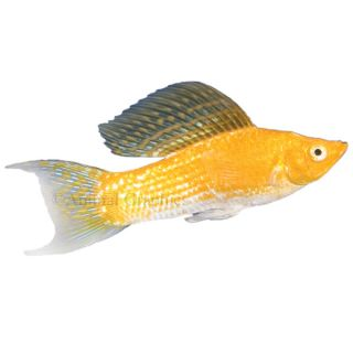 Cremecicle Lyretail Molly   Tropical   Fish