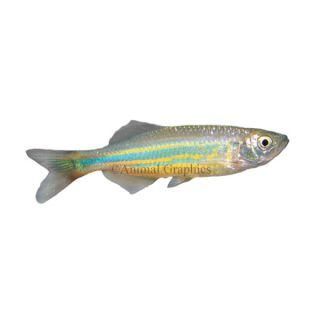 Giant Danio   Tropical   Fish