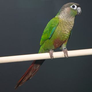 Green Cheek Conure   Bird   Live Pet