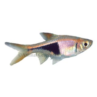 Hypsophrys nicaraguensis macaw cichlid live fish for Aquarium fish for sale online