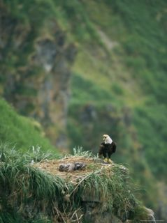 An American Bald Eagle and its Chicks in Their Clifftop Nest Photographic Print