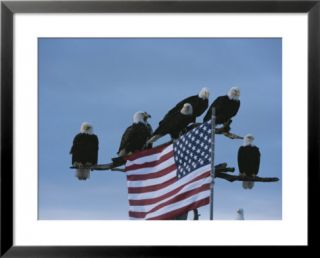 A group of northern American bald eagles sit on a trees sparse perches Posters by Norbert Rosing