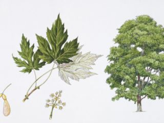 Silver Maple (Acer Saccharinum) Flower, Leaf and Maple Seeds, Illustration Photographic Print