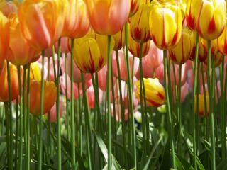 kuenstler blumen titel gelbe tulpen 8 teilig groesse 364 cm x 254 cm