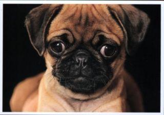 Postkarte: Mops Greta mit den großen Augen   süß!