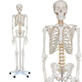 Anatomie Modell Skelett Lebensgroß   2 Jahre Garantie