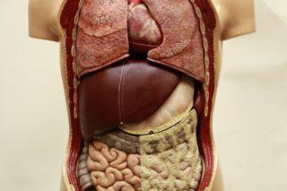 Lehrmodell menschlicher Körper Organe Gips Modell Sommer Markus Somso