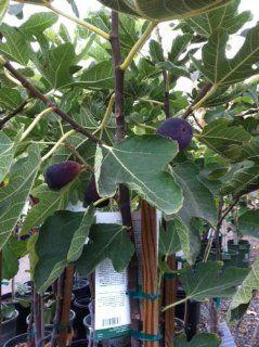 Black Jack Semi Dwarf Fig Tree Five Gallon Patio, Lawn