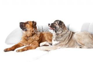 Caucasian shepherd dog  Stock Photo © Андрей Музыка