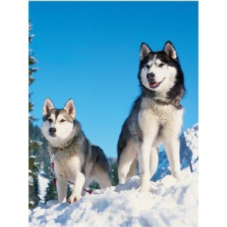 Ravensburger Jigsaw Puzzle   Husky dogs in the snow   1500 pieces